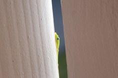 the lizard peeking