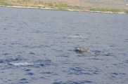 there were a lot of dolphins near Kona