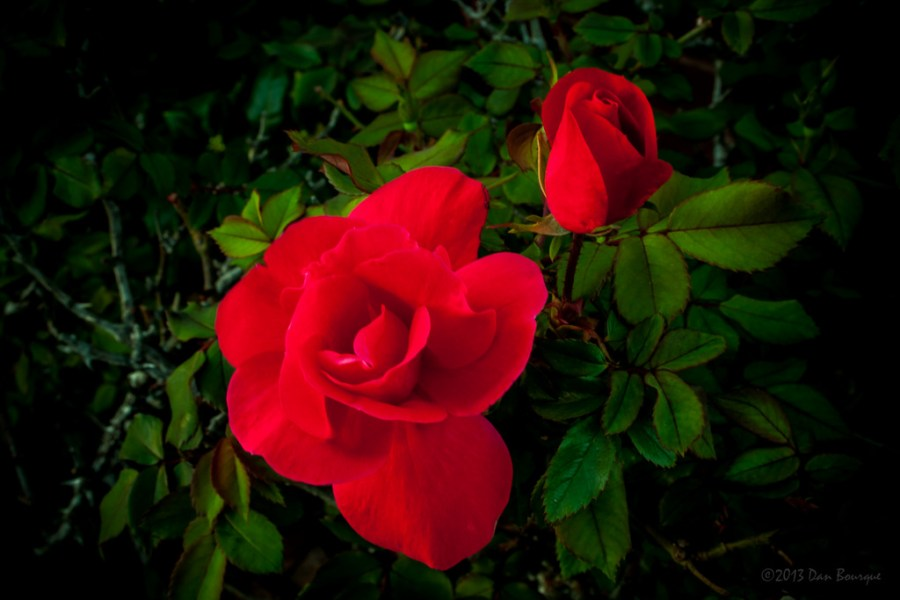 Two Roses Open and Closed detail photo by Dan Bourque