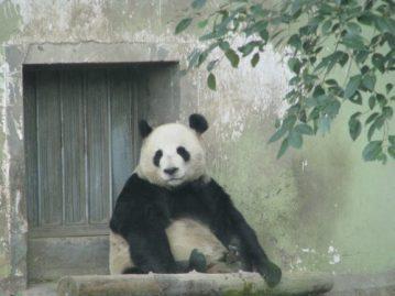 上海パンダ