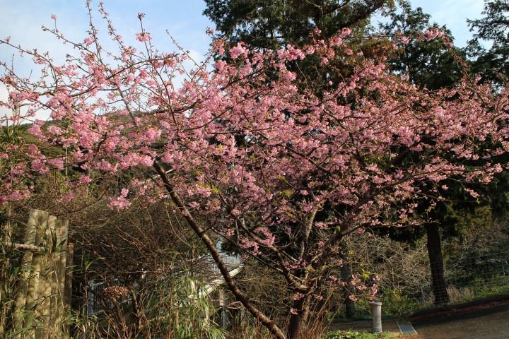 ゆらりんこ橋の桜