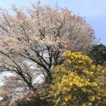 ミモザと山桜