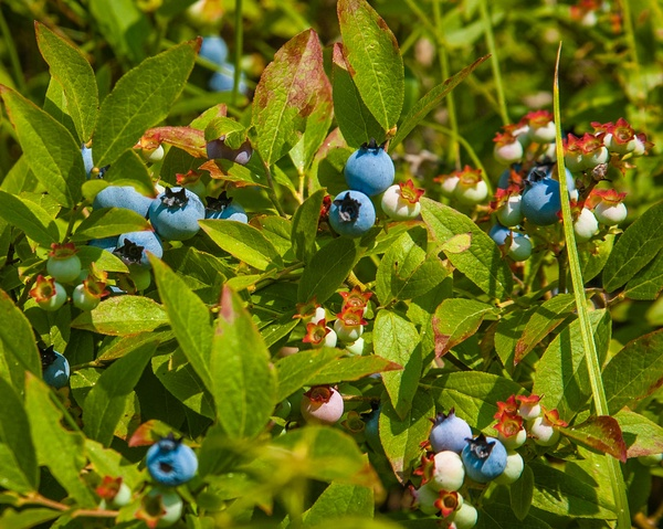 picking blueberries as i'm living the good life