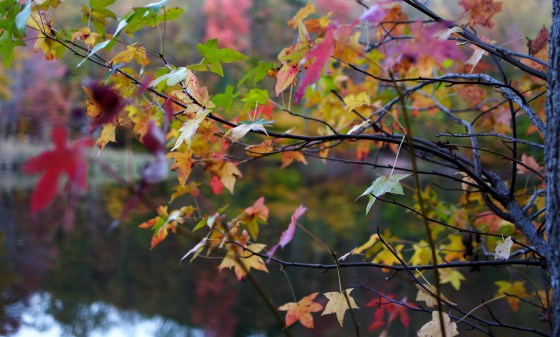 The leaves begin to change color at the end of summer.