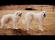 Dugur, great pyrenees and Thor, akbash