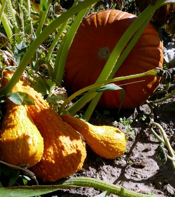 Pumpkins and squash....