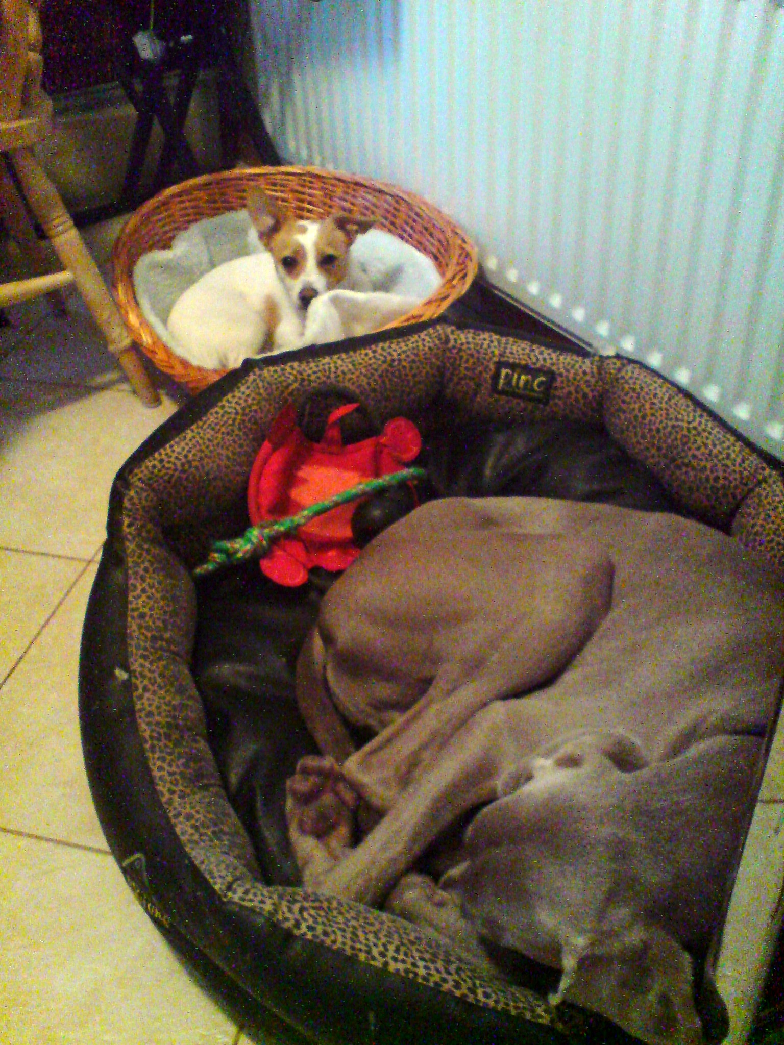 Mac and Max in their beds