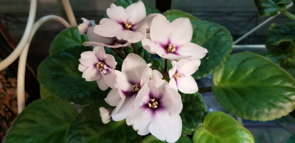 "Large white bloom with a dark red-purple eye, bloom dia. 2.25""                                                                                                                                                                                                                                             Size/growth habit: foliage heart shaped leaf with light serration on edges, medium green flat leaf growth"