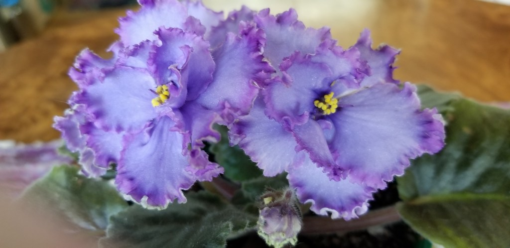 Hybridizer: Lyndon Lyon Greenhouses, AVSA #9516                                                                                                                                                                            Type:  Large Standard                                                                                                                                                                  Color/ Size/growth habit:  This magnificent variety flaunts semi-double and double large stars of light blue, accented by a dark blue center. Striking bands of light, reddish-purple surround each frilly edged blossom, randomly marked in variable, light green.  Foliage: Large, dark green foliage.                                                                                                                                                  Special notes:  Flowers look best when grown cool!