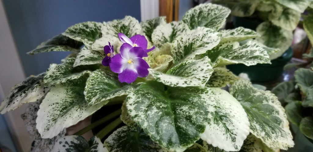 Standard size, Redish blue purple with a white eye. Single white sticktite pansy/dark purple-red patches. Variegated 70% with speckles of cream that move from edge of leaf toward center of leaf, medium green and ivory, plain, hybridizer Lyndon Lyon AVSA#9201, 2003