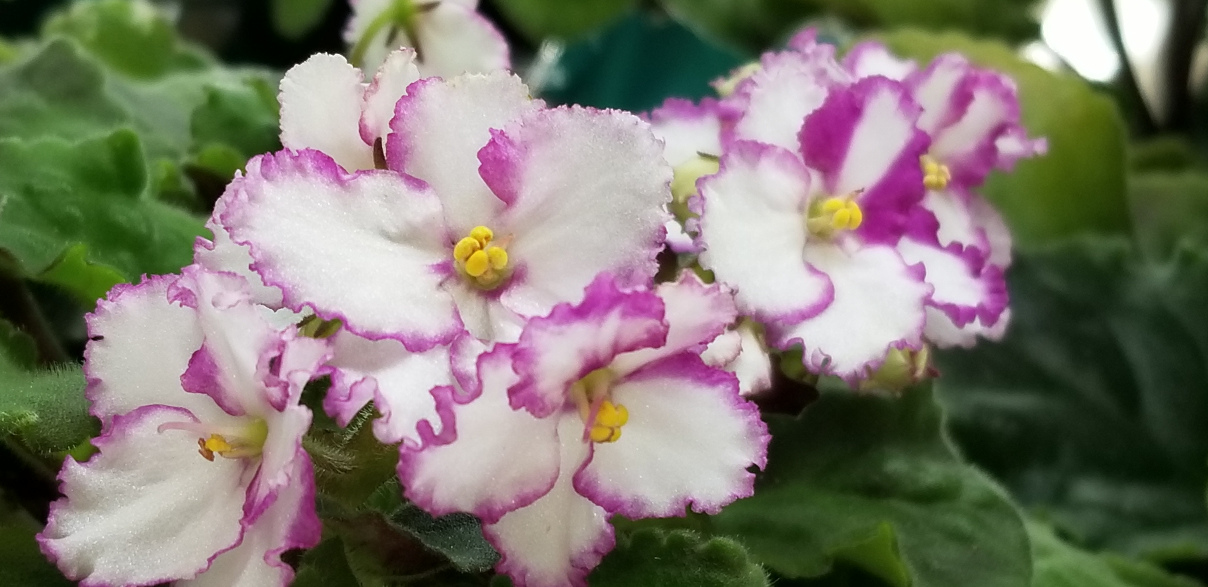 """White field with magenta edge, bloom 1.25"""" to 1.75"""", clusters of 6-9 blooms on one stem in center top of plant, standard size, leaf growth ruffled, slightly raised"""