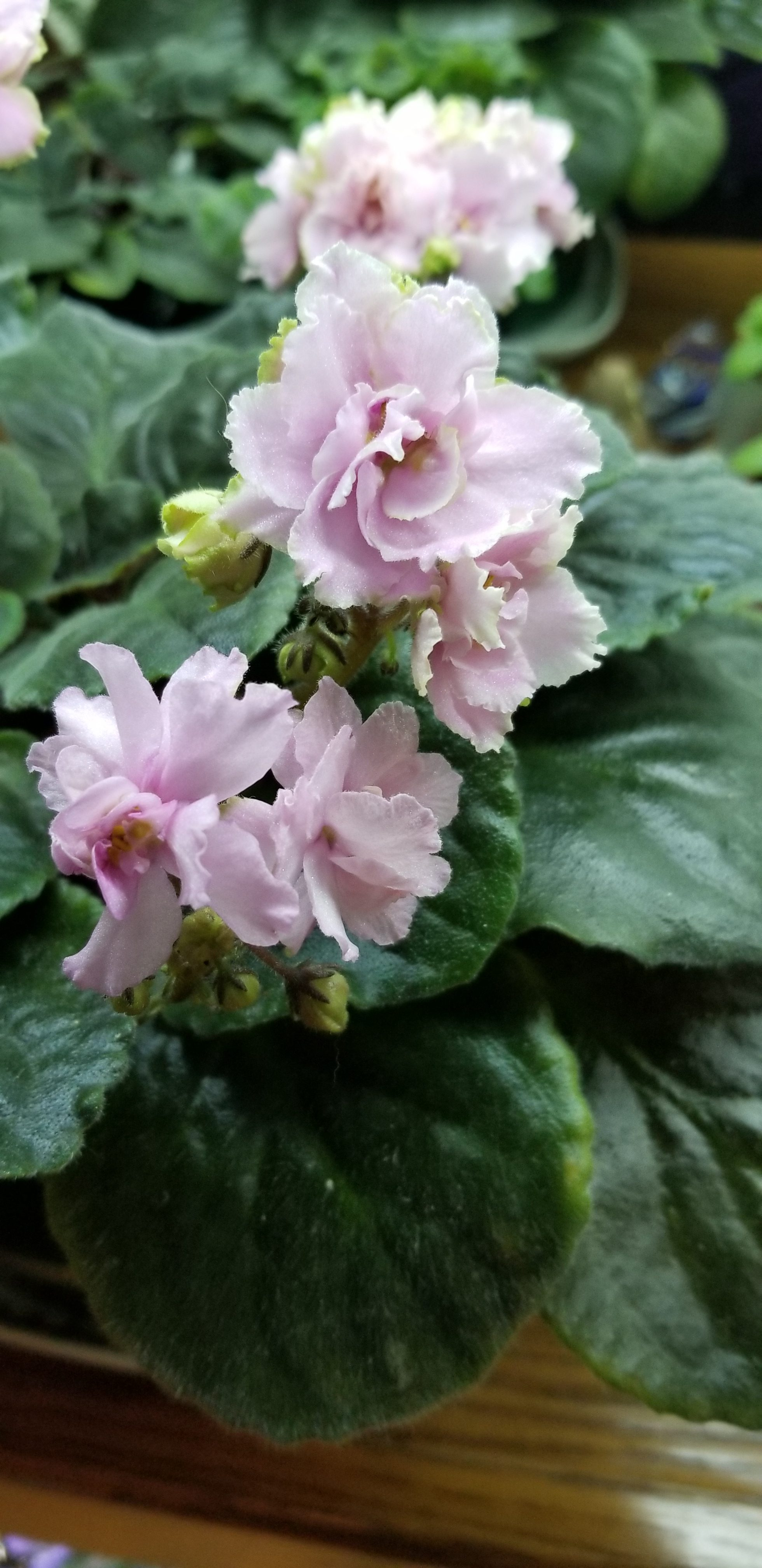 "Pink with white to green edges, 1.75"" blooms on tall stems in clusters                                                                                                                                                                                                                                         Size/growth habit:  Standard size, Flat foliage lightly quilted"