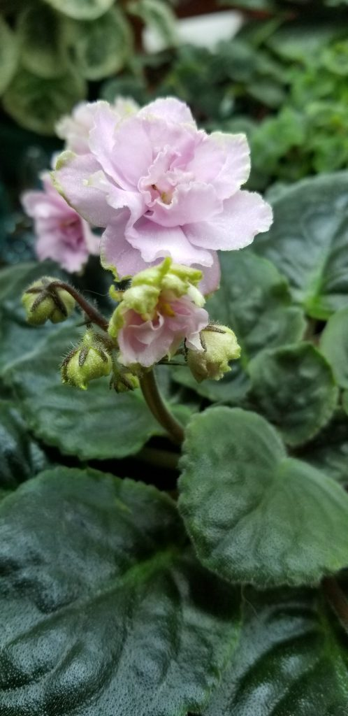 """Pink with white to green edges, 1.75"""" blooms on tall stems in clusters                                                                                                                                                                                                                                         Size/growth habit:  Standard size, Flat foliage lightly quilted                                                                                                                                        Pink with white to green edges, 1.75"""" blooms on tall stems in clusters                                                                                                                                                                                                                                         Size/growth habit:  Standard size, Flat foliage lightly quilted"""