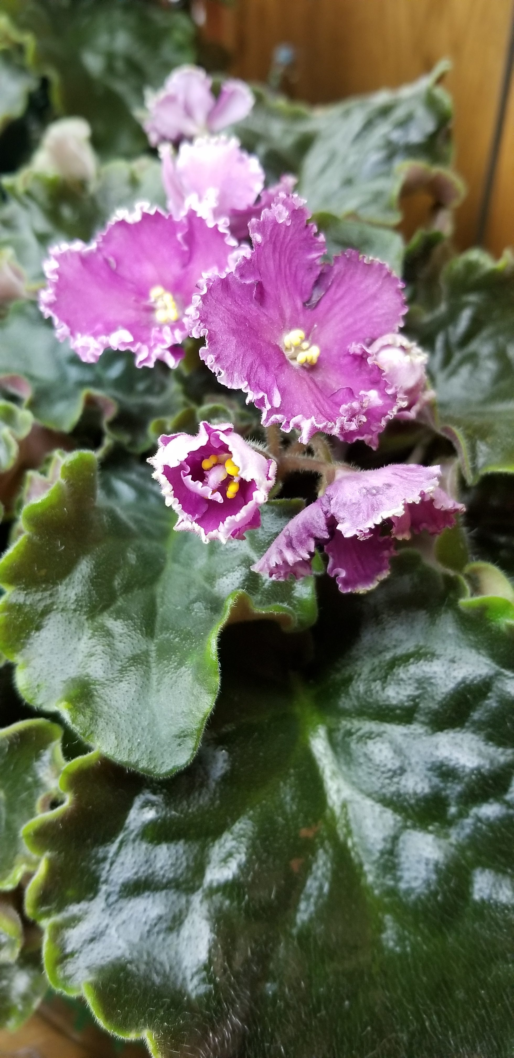 Magenta Dark Pink with krinkly white edge, Standard size, ruffled leaves lifting a bit higher