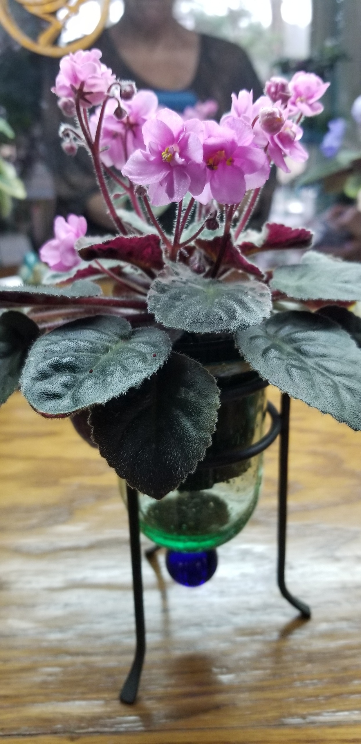 Double bright pink, 2-tone wavy bloom,  semi-miniature, trailer,  variegated leaves in center of plant pinkish variegation, plain