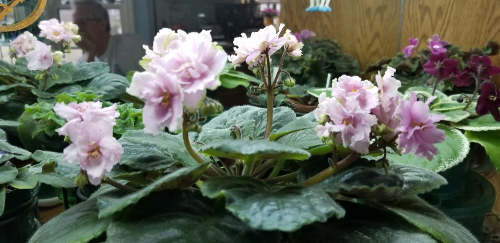 """Pink with white to green edges, 1.75"""" blooms on tall stems in clusters                                                                                                                                                                                                                                         Size/growth habit:  Standard size, Flat foliage lightly quilted                                                                                                                                        Special note: Tall flower stems"""