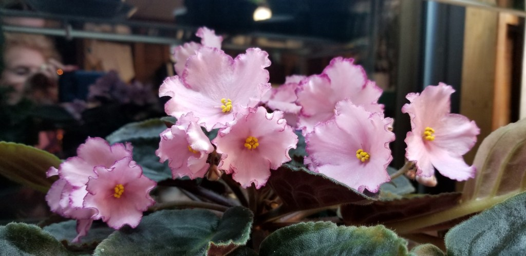 """Light Coral, 2.25"""" single flowers with slightly darker edge. Single stars slightly cupped, very dark raspberry edge outlines slightly fluted flower                                                                                                                                                                                Size/growth habit:  Medium dark green tailored foliage shapes nicely, 13"""" plant dia"""