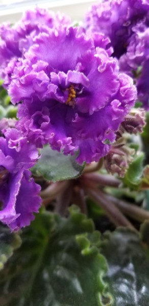 Standard African Violet, Russian Variety Hybridizer:  Svetlana Repkina (T.Dadoin)                                                                                                                                                                                                                                                                                                                                                  Type:  Russian name Vodianoi, large standard                                                                                                                                                                             Color:   Very large fully double dark blue flowers with the blue transitioning from red purple to pink and