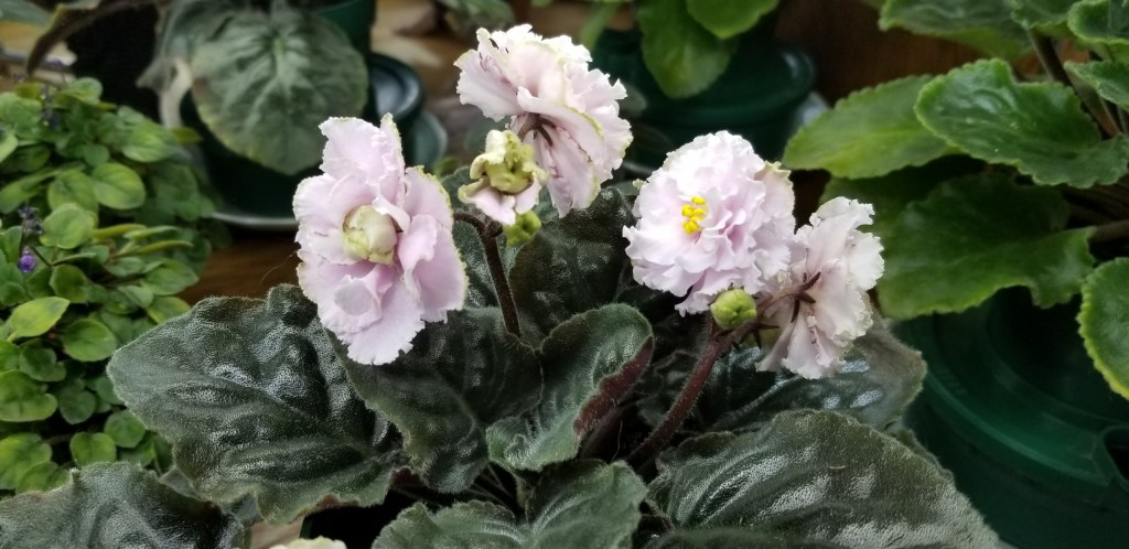 """:  White to pale pink 2.25"""" blooms semidouble large wavy star ruffled.                                                                                                          Size/growth habit:  Medium green pointed quilted ovate foliage"""