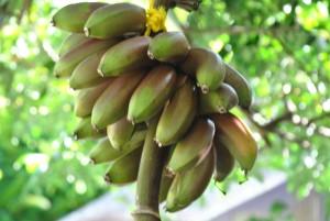 6 Kinds of Bananas