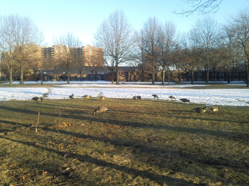 Canada_Geese5(2)