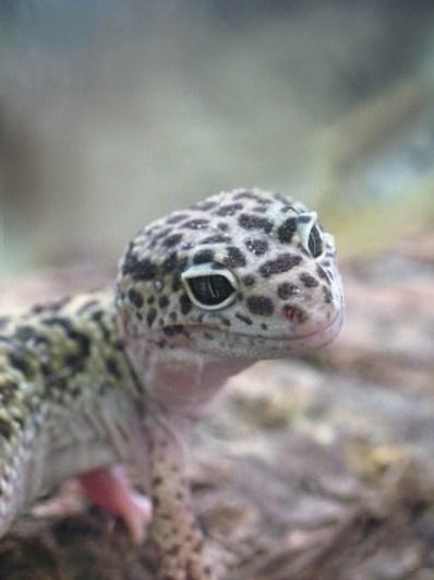 Gecko reversed