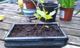 oak bonsais are a'happening april 2014