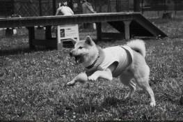 柴犬ハナ 生後8ヵ月 ボール遊び2