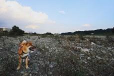 柴犬ハナ 生後8ヵ月 多摩川