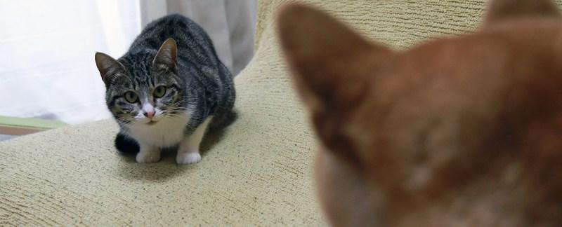 柴犬ハナに元野良猫ニコが威嚇