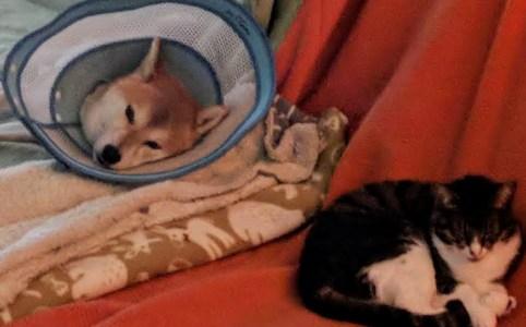 柴犬ハナと保護猫ニコの距離