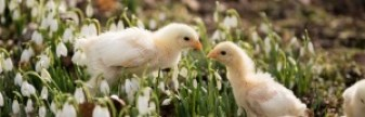chicks-5-for-web