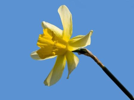 daffodil-1375711