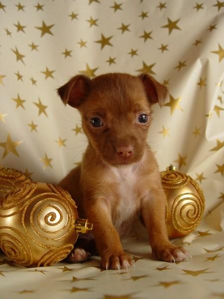 christmas-dog-1407593