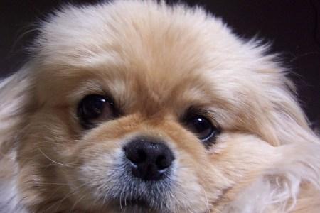 pekingese-dog-1399001