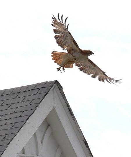 Hawk over Shenandoah Avenue