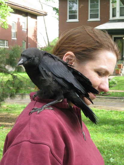 Fledgling crow couldn\'t fly - assisted by woman