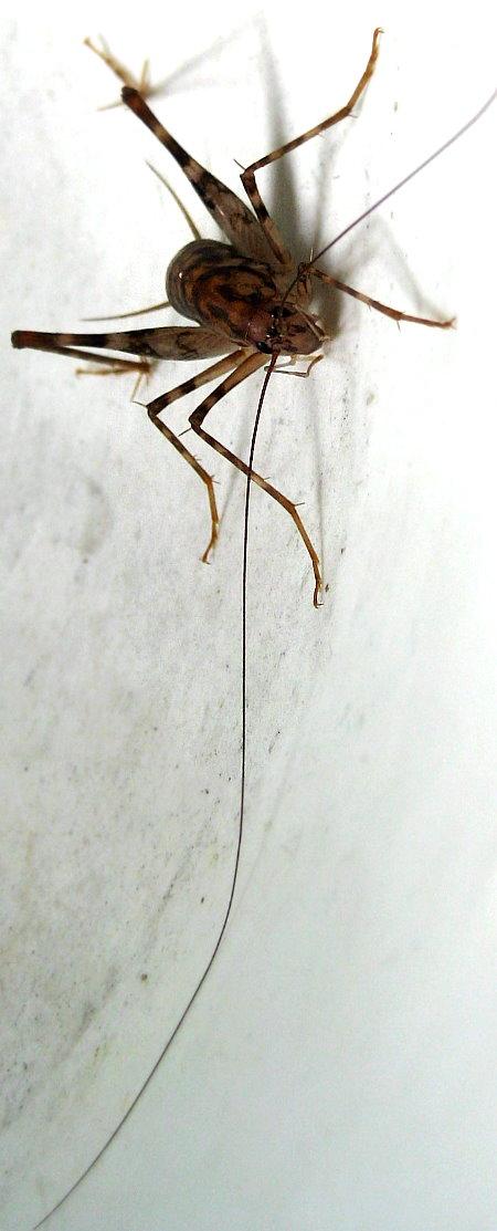 Long Whisker Cricket