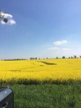 Alles gelb - so viele Rapsfelder