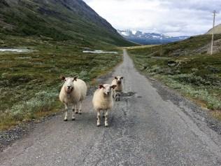 angriffslustige Schafe