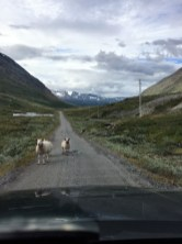Schafe auf der Schotterpiste (übrigens ist das eine mautpflichtige Straße) Norwegen
