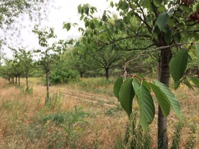 Kirschbäume entlang des Mauerwegs