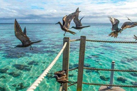 Nhạn biển đen (Anous minutus)