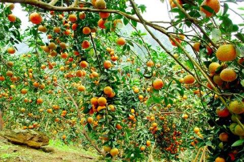 Tổng hợp tất cả đặc sản Tuyên Quang: Cam sành Hàm Yên - VietFlavour.com