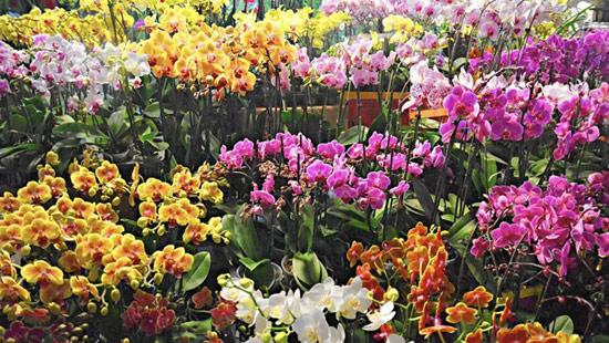 Hoa lan đủ màu sắc được bày bán ở chợ hoa của người Việt tại khu thương mại Asian Garden ở Little Saigon, thành phố Westminster, quận Cam, bang California, Mỹ. Đây nơi có lượng người Mỹ gốc Á lớn thứ 3 ở Mỹ. Sự kiện kéo dài 23 ngày, bắt đầu từ ngày 15/1. Ảnh: Los Angeles Times