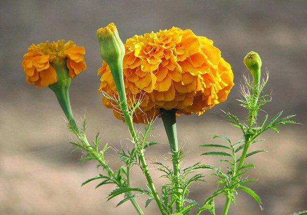 Những loᾳi hoa không nên dâng cύng trên bàn thờ vào thάng 7 âm lịch - 5