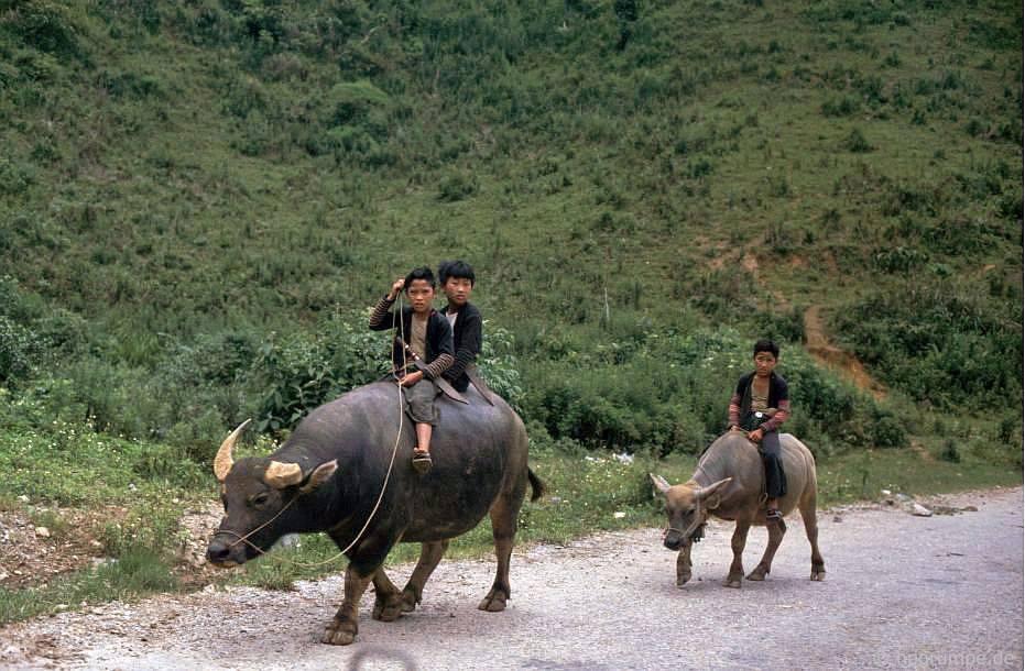 Con trâu (người Thάi đen) trên đường đến Sσn La