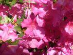 Azaleas blooming