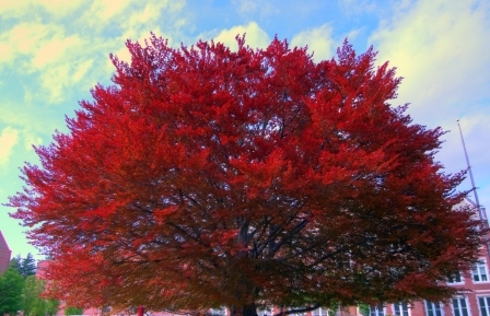 Beech_tree_hdr