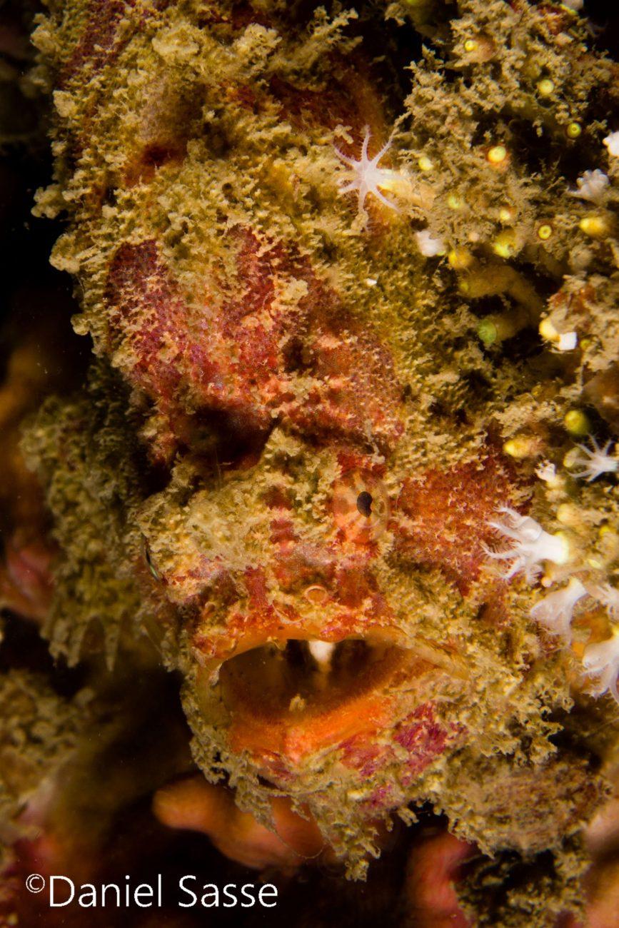 Bloodspot Frogfish Portrait